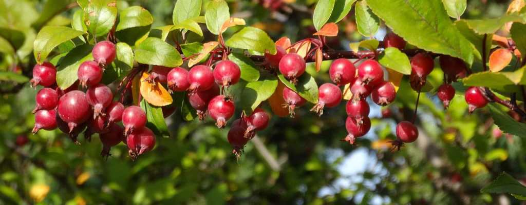 crabapples hanging on a branch