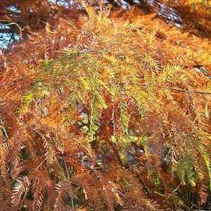 fall foliage bald cypress