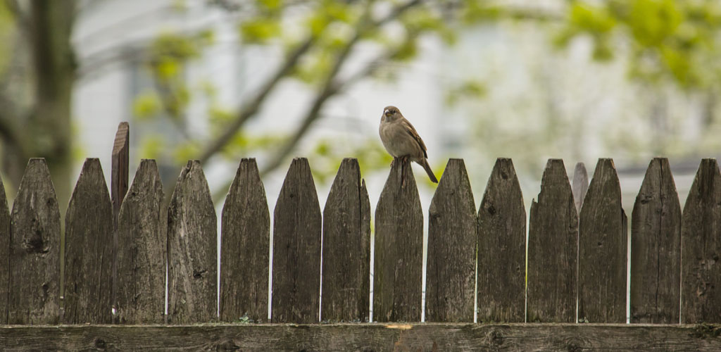 wooden fence used as privacy screen with sparrow perched on top