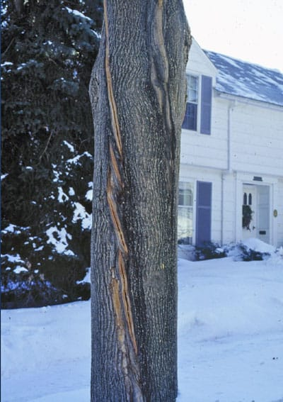 frost crack in Norway maple