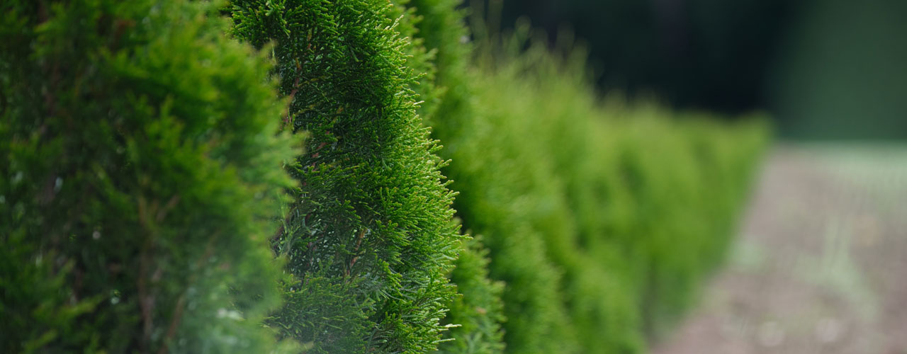 living privacy fence hedge - arborvitae planted in a line
