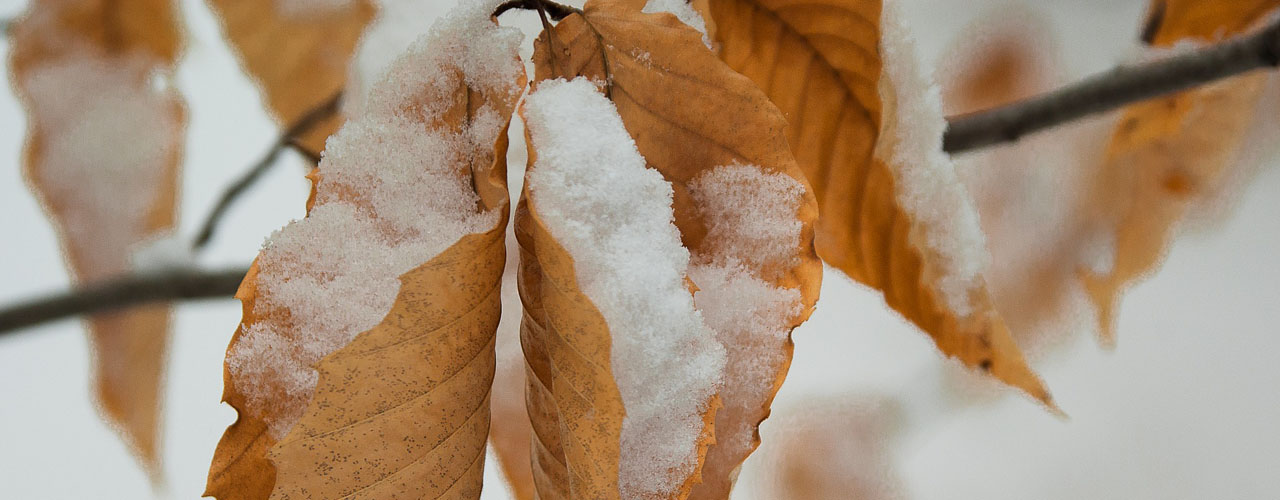 snow on leaves that haven't fallen off a tree in winter