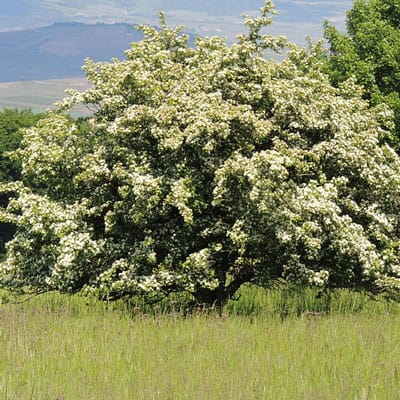 flowering hawthorn - small tree for Dayton, OH