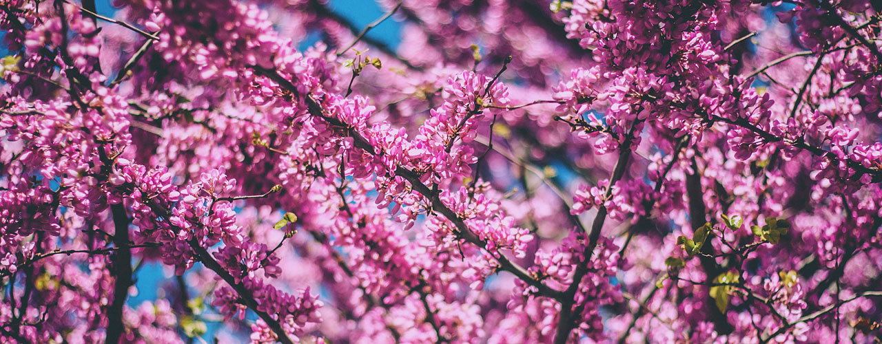 Best spring flowering trees to plant in dayton ohio arbor experts some of the best blossoms of spring in dayton come from flowering trees their emerging fragrance fills the air and falling petals dance in the wind like mightylinksfo