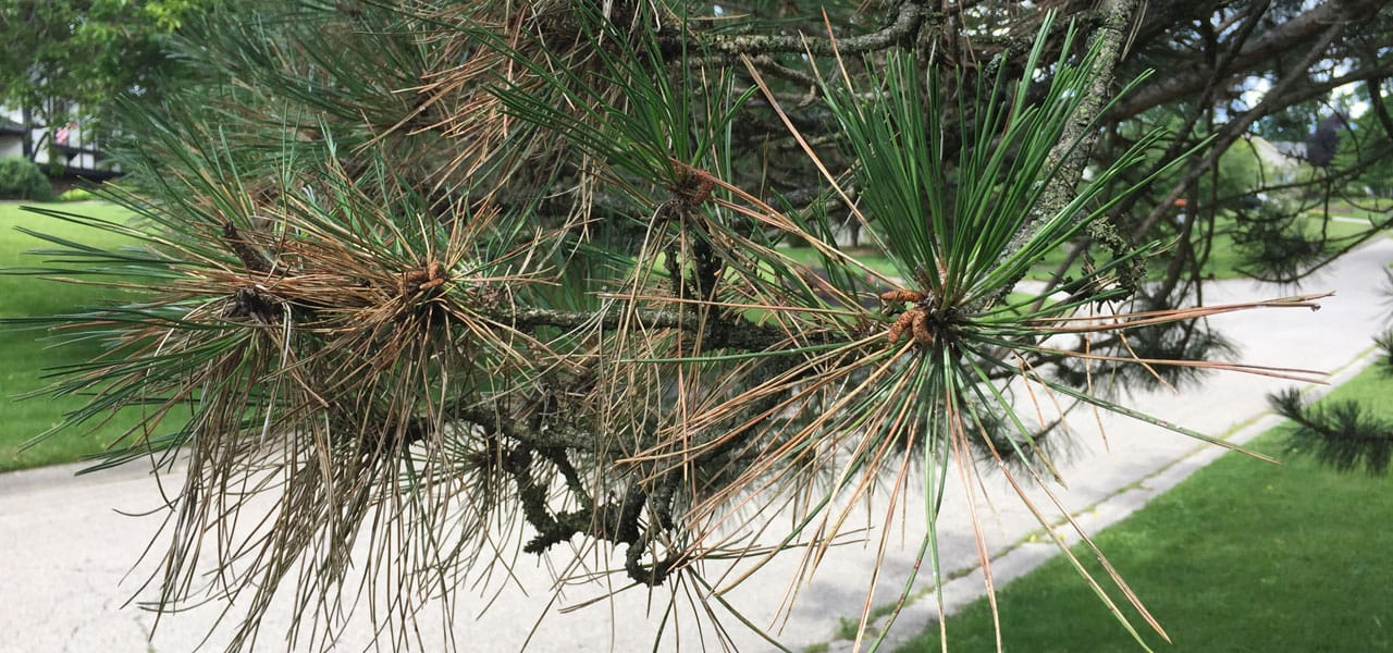 dothistroma needle blight (tree disease) on austrian pine