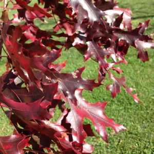 fall foliage scarlet oak