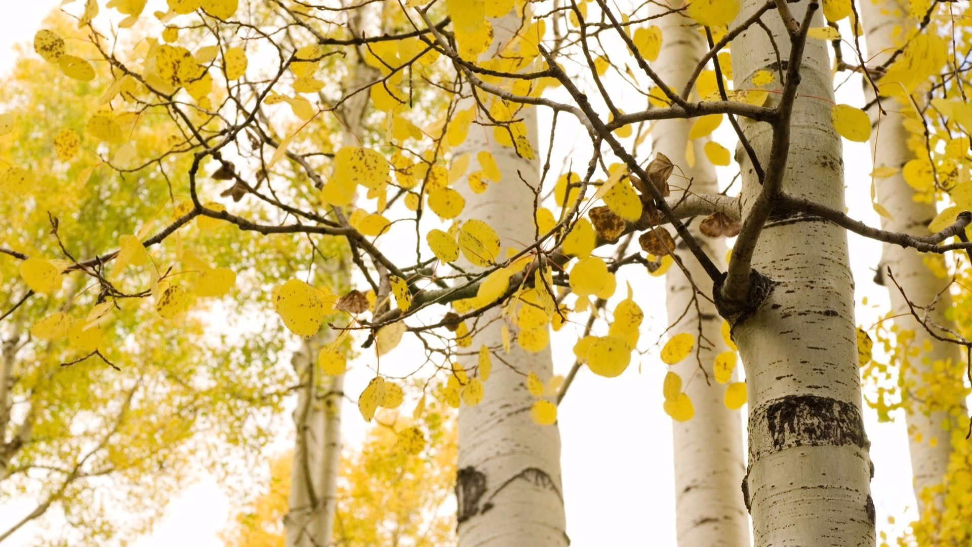 Fall Aspens Wallpaper 10 Most Popular Nursery Trees And Shrubs Shipping This