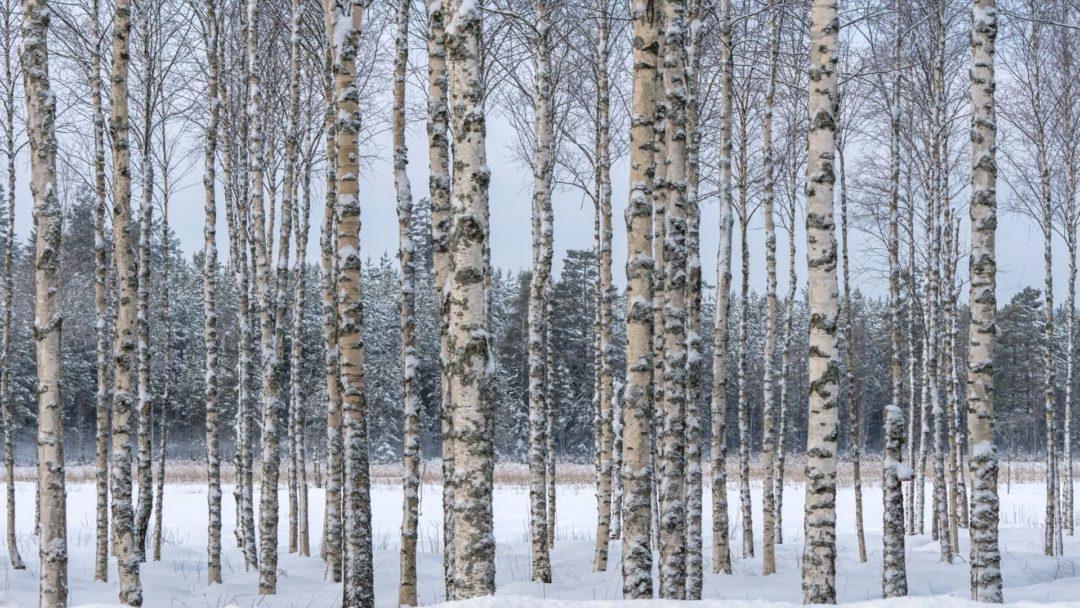 paper birch douglasfir an