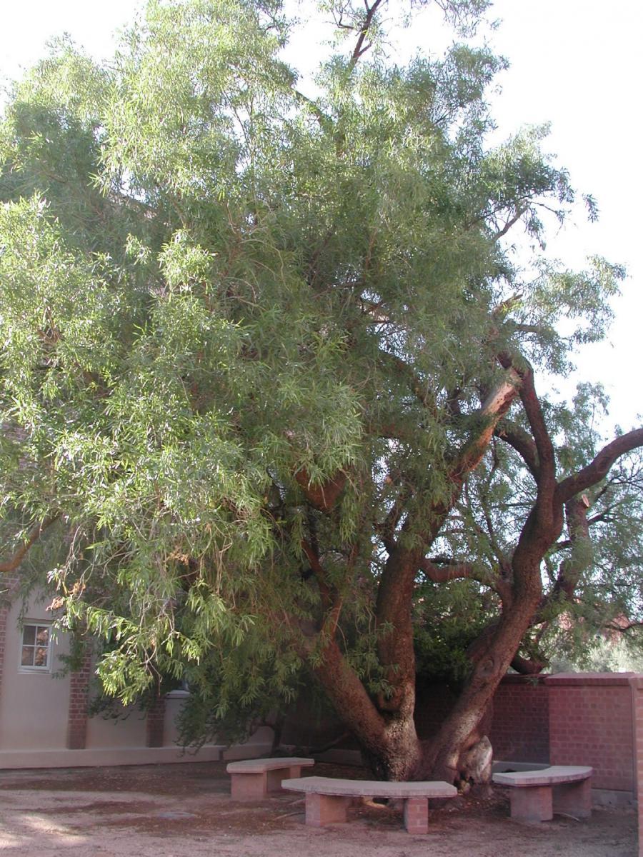 Heritage Trees on the UA Campus  University of Arizona