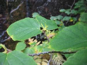 Hamamelis virginiana: flowers and leaves