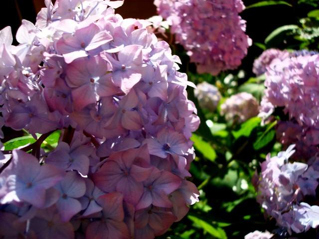 Hydrangea (photo by Joanne Bergenwall Aw)