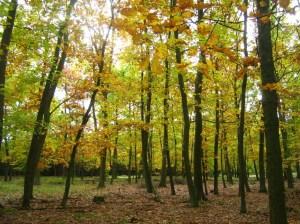 Northern Red Oak (Quercus rubra) (photo by Botaurus)