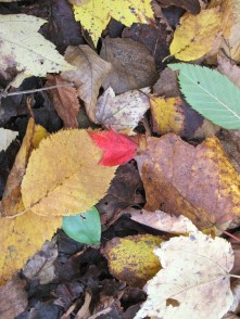 Maine autumn colors: birch, maple, and oak
