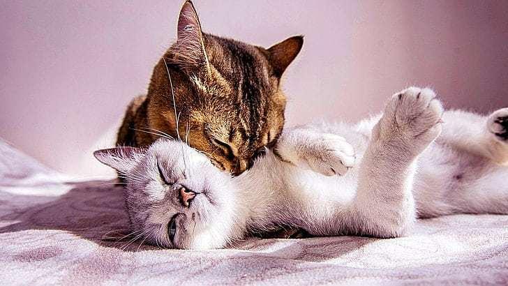 saison-amour-chat-en-chaleur-arboricat