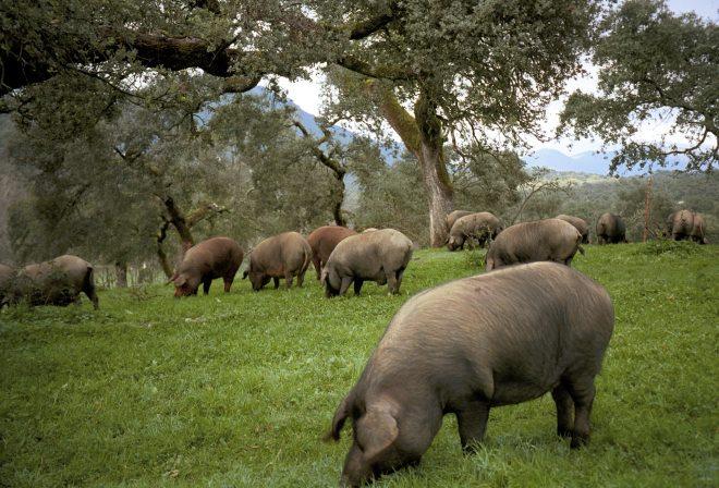 The black iberian pig grazing amongst a landscape of holm oak in a