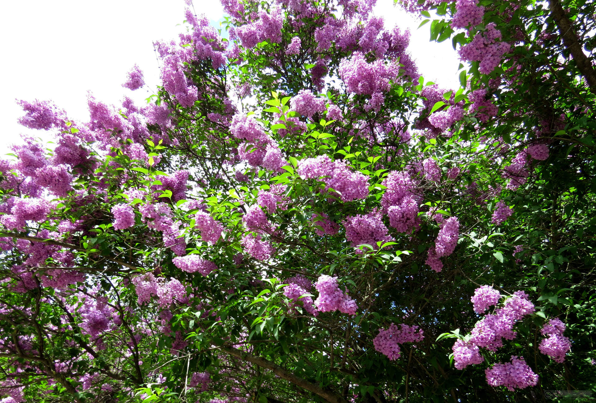 When to Prune Lilac Bushes  ArborScape Tree Services