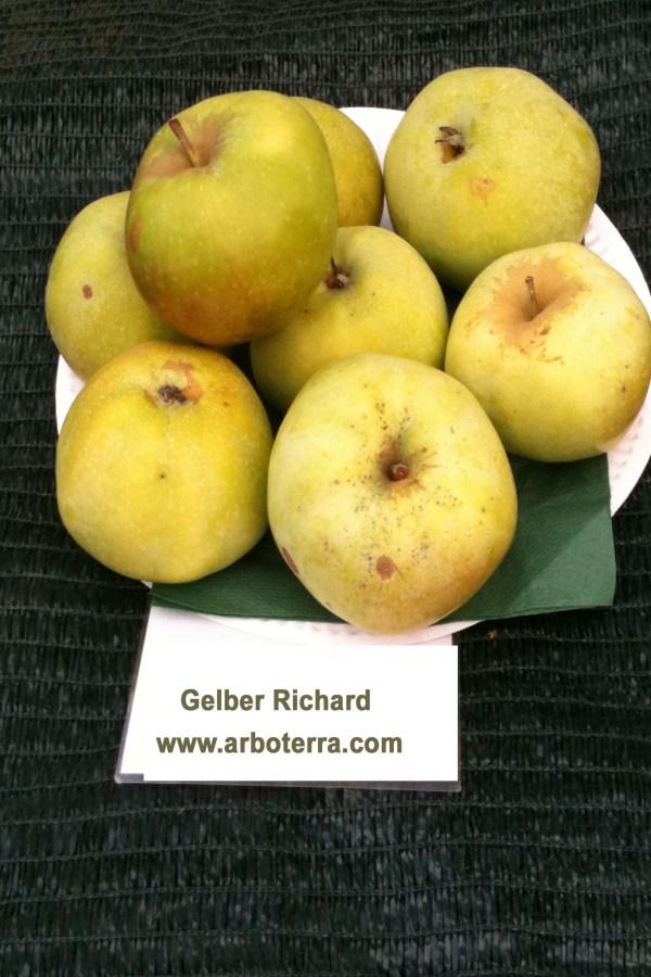 Gelber Richard - Apfelbaum – Alte Obstsorten Arboterra GmbH