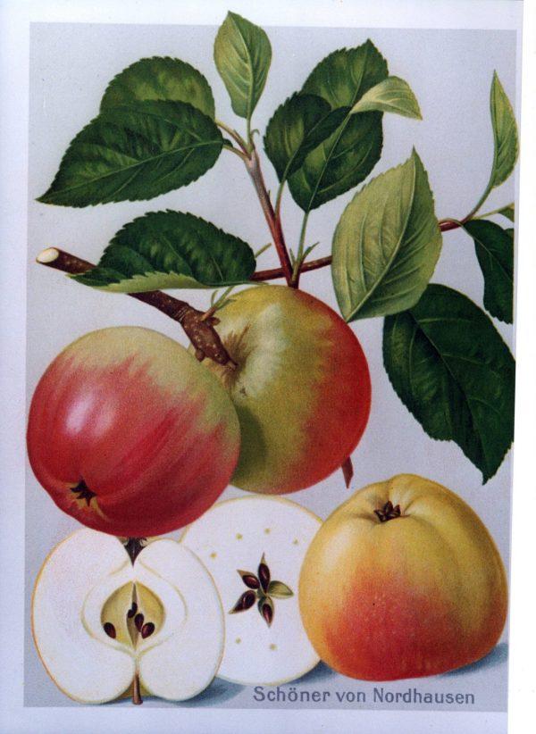 Schoener von Nordhausen - Apfelbaum – Alte Obstsorten Arboterra GmbH