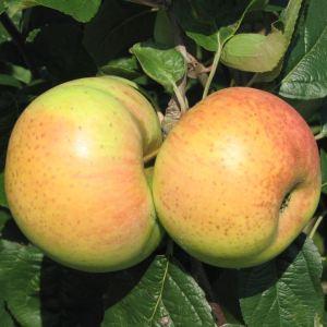 Blumberger Langstiel - Apfelbaum – Alte Obstsorten Arboterra GmbH