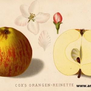Cox Orangenrenette - Apfelbaum – Alte Obstsorten Arboterra GmbH