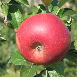 Franzoesische Goldrenette - Apfelbaum – Alte Obstsorten Arboterra GmbH