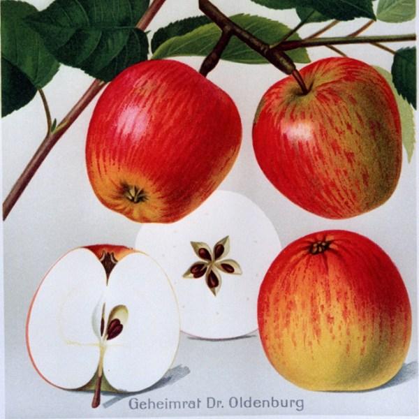 Geheimrat Dr. Oldenburg - Apfelbaum – Alte Obstsorten Arboterra GmbH