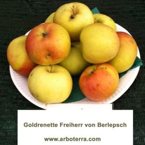 Goldrenette Freiherr von Berlepsch - Apfelbaum – Alte Obstsorten Arboterra GmbH