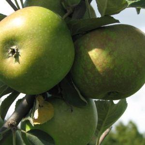 Gruener Fuerstenapfel - Apfelbaum – Alte Obstsorten Arboterra GmbH