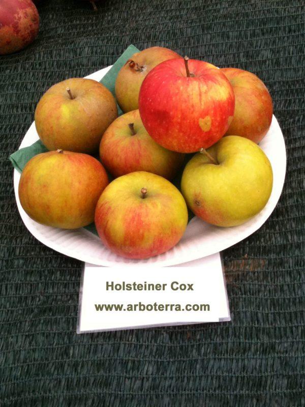 Holsteiner Cox - Apfelbaum – Alte Obstsorten Arboterra GmbH