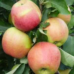 Jonagold - Apfelbaum – Alte Obstsorten Arboterra GmbH