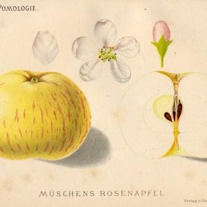Mueschens Rosenapfel - Apfelbaum – Alte Obstsorten Arboterra GmbH