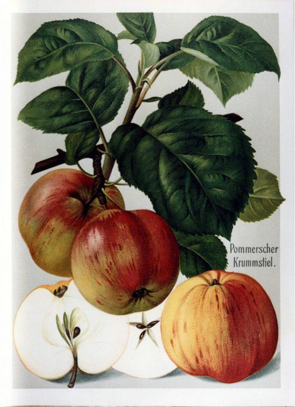 Pommerscher Krummstiel - Apfelbaum – Alte Obstsorten Arboterra GmbH