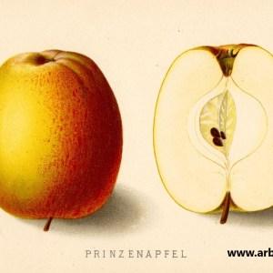 Prinzenapfel Hasenkopf - Apfelbaum – Alte Obstsorten Arboterra GmbH
