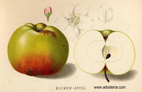 Riesenboiken - Apfelbaum – Alte Obstsorten Arboterra GmbH