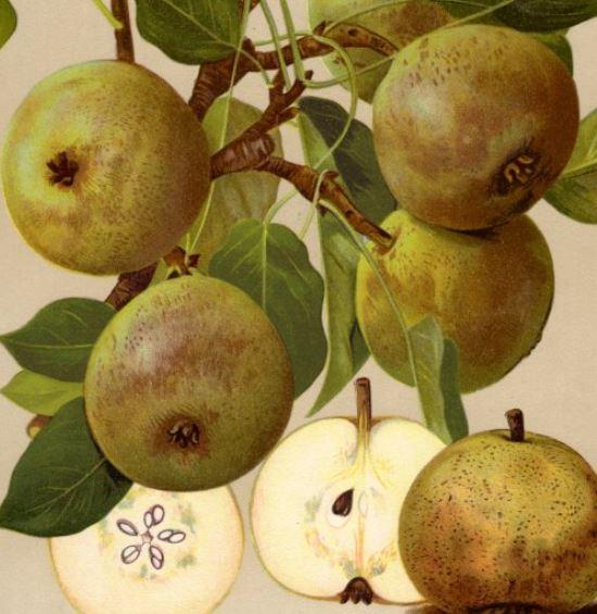 Rote Bergamotte - Apfelbaum – Alte Obstsorten Arboterra GmbH