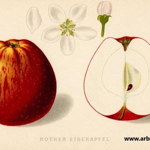 Roter Eiserapfel - Apfelbaum – Alte Obstsorten Arboterra GmbH
