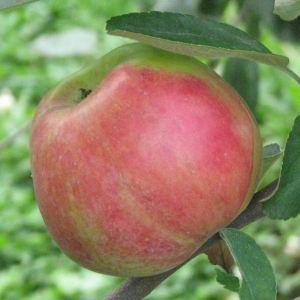 Roter Gravensteiner - Apfelbaum – Alte Obstsorten Arboterra GmbH