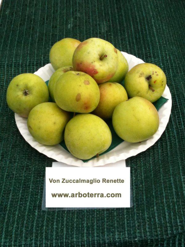 Von Zuccalmaglio Renette - Apfelbaum – Alte Obstsorten Arboterra GmbH