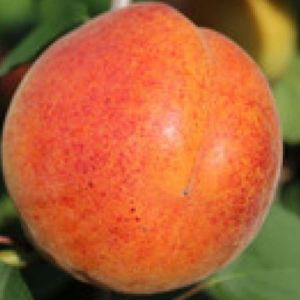 Bergeron - Aprikosenbaum – Alte Obstsorten Arboterra GmbH