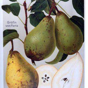 Graefin von Paris - Birnenbaum – Alte Obstsorten Arboterra GmbH
