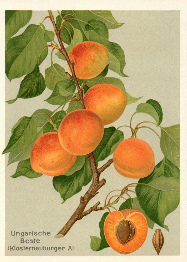 Ungarische Beste - Apfelbaum – Alte Obstsorten Arboterra GmbH