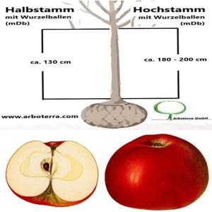 Apfelbaum (mit Wurzelballen / mDb)