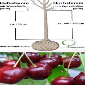 Kirschbaum (mit Wurzelballen / mDb)