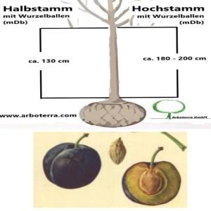 Pflaumenbaum (mit Wurzelballen / mDb)