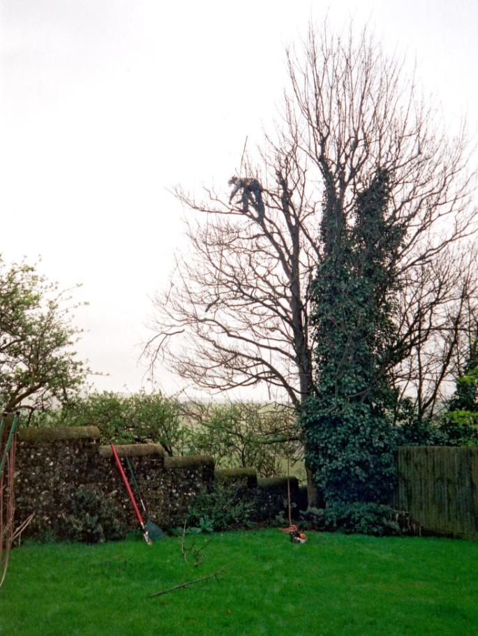 A large Sycamore having its canopy reduced in Portslade, East Sussex
