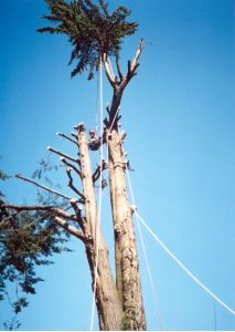 A sectional dismantle of a Large Macrocarpa in Brighton, East Sussex.