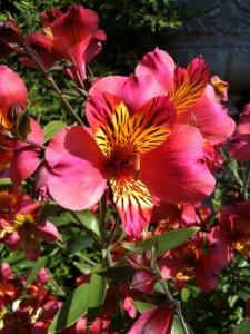 The very colourful Alstroemeria Aurea
