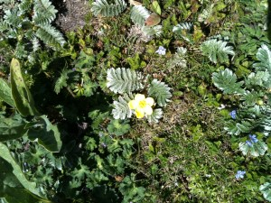 Looking sneakily like a buttercup, this is actually silverweed, argentina anserina