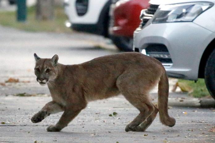 Un puma fue visto en las calles de Chile durante la cuarentena