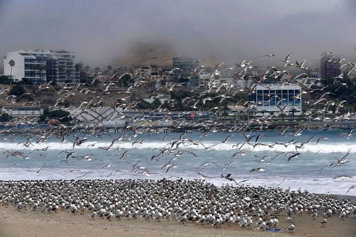 Gaviotas en las playas de Perú